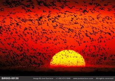 Sandhill cranes on the Platte River in Nebraska.- Joel Sartore. People come from all around the world to see this!