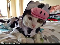 adorable animal costumes gif | ... costume cats cute funny animals funny cat funny costumes funny cow