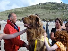 Bilbo has been trained to recognise the international signal for help; waving one arm in the air and shouting. When he sees someone with that attitude in the sea, he can swim through head high surf out to them. He normally wears a harness which we attach a Peterson tube to, which is a standard piece of life guarding kit.