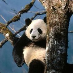 One day, I will meet a panda. I will hang out with that panda. I will love that panda.