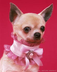 Chihuahua au collier rose avec camée@@