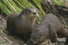 Very rare sighting of the Otters at WWT Slimbridge www.zoovue.com #conservation #zoo #wildlife #otter - http://ift.tt/1HQJd81