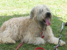 Molly Soft Coated Wheaten Terrier | Pawshake