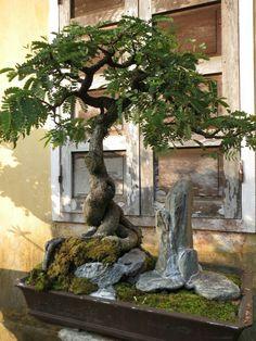 Plantas/bonsai/suculentas