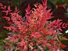 Nandina domestica (schijnbamboe), witte bloempluimen, hierna rode bessen, wintergroen, fris groen bamboeachtig blad, mooi oranje rode herfstkleur, makkelijke kuipplant