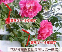 つるバラの育て方 デルバール、河本バラ園、ドリュのバラ苗を確かな品質で販売 | はなはなショップ Love Garden, Plants