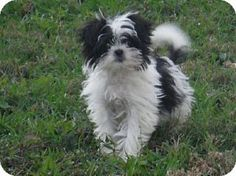 Flanders, NJ - Japanese Chin/Maltese Mix. Meet Andy Adorable, a puppy for adoption. http://www.adoptapet.com/pet/12091032-flanders-new-jersey-japanese-chin-mix
