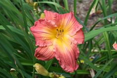 Daylily garden in southeastern Indiana. We ship daylilies in the U. and garden visits. Daylily Garden, Day Lilies, Board, Plants, Flora, Sign, Plant, Planks, Tray
