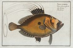 """""""Zeus Faber, The Doree. (1785-1797)"""" from an 18th-century volume Allgemeine Naturgeschichte der Fische. This edible variety of the genus Zeus is also known as John Dory or St Pierre or Peter's Fish. Here's the awesome part: The dark spot is used to..."""