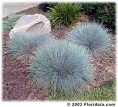 blue fescue - southern california landscaping splendidnest