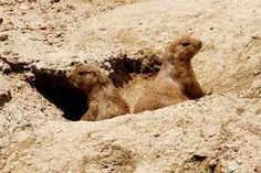Perritos de pradera , son muy vistos en el desierto.