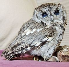 Meet Zeus, the blind Screech owl with stars in his eyes – Cottage Life