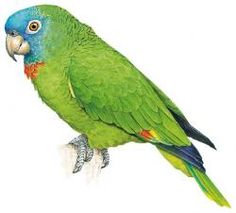 Red-necked Amazon (Amazona arausiaca)