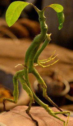 Habitam árvores próprias para a realização de varinhas mágicas. Alimentam-se de bichos-de-conta e ovos de fada, quando conseguem encontrar. Em inglês: Bowtruckle