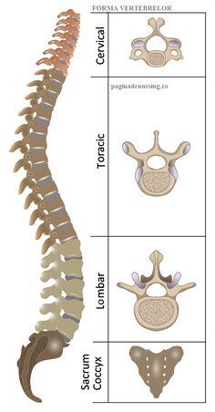 Human Muscle Anatomy, Human Skeleton Anatomy, Basic Anatomy And Physiology, Radiology Student, Thoracic Vertebrae, Anatomy Bones, Medicine Notes, Medical Anatomy, Anatomy Study