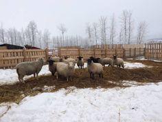 Bred ewe lambs for sale - 25-30 | Livestock.com