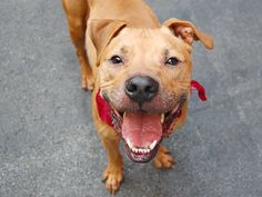 TO BE DESTROYED MONDAY 07/07/14~~Manhattan Center -P HAVOC - A1004814  NEUTERED MALE, BROWN / BLACK, PIT BULL MIX, 4 yrs OWNER SUR - ONHOLDHERE, NO HOLD Reason NO TIME  Intake condition NONE Intake Date 06/27/2014, From NY 10009, DueOut Date 06/27/2014,