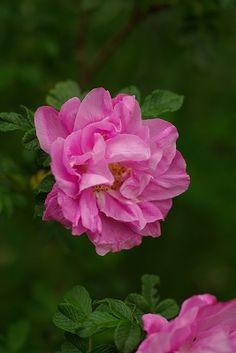 Hybrid Rugosa Rose: Rosa 'Belle Poitevine' (France, 1894)