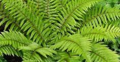 Japanese Tassel Fern (Polystichum polyblepharum) T W. Full to part shade. Likes wet soil. Types Of Fern Plants, Shade Plants, Fern Types, Shade Garden, Garden Plants, Potted Plants, Flowering Plants, Back Gardens, Outdoor Gardens