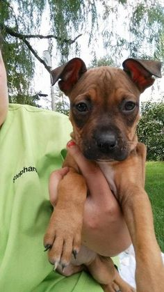 Meet Bubbles, a Petfinder adoptable Pit Bull Terrier Dog | Brooklyn Center, MN | You can fill out an adoption application online on our official website.Bubbles is a little diva....