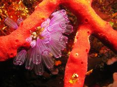 Painted tunicate, erect rope sponge,photo by Greta VanGrowler.