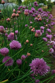 Chives in a neighbors garden - May 2007