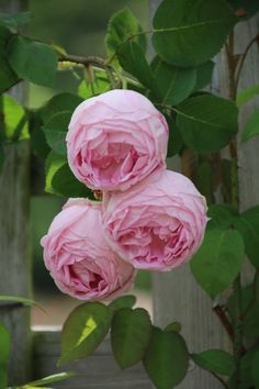 'Constance Spry' roses