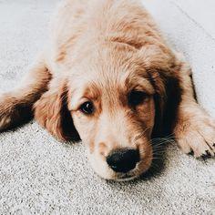 #puppy pupper // golden // golden retriever // cute puppy #GoldenRetriever