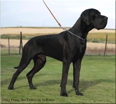 Black Great Dane // Ding Dong des Terres de la Rairie | Misandre Kennel