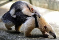who knew anteaters could be so adorable?