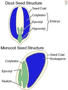 1000 images about seed anatomy on pinterest seeds anatomy and worksheets. Black Bedroom Furniture Sets. Home Design Ideas