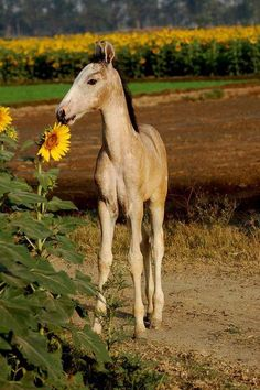 Baby horse by the sunflowers