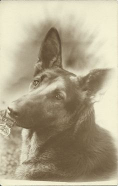 sepia portrait of adoring German Shepherd Dog. From bendale collection German Shepherd Pictures, German Shepherd Dogs, German Shepherds, Antique Pictures, Vintage Photos, Dog Photos, Dog Pictures, Kodak Moment, Dogs And Puppies