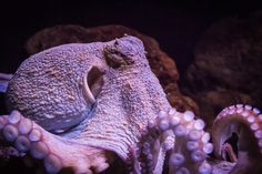 11 Octopuses Caught in the Act of Being Awesome  http://mentalfloss.com/article/57193/11-octopuses-caught-act-being-awesome