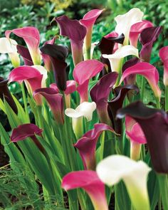 All About Calla Lilies