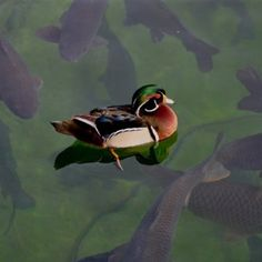 Wood duck with carp underneath. Photography by William Butler