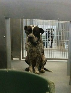Stray Dallas pooch sits like a good boy at Animal Control hoping to be adopted