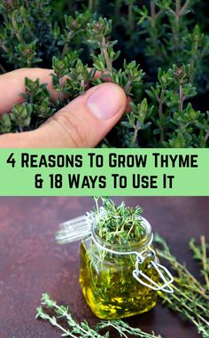 A small, evergreen shrub with light purple flowers and a pleasant flavor, thyme has been enjoyed since ancient times by the Egyptians and Greeks. The herb soon spread throughout Europe where it helped flavor food, Healing Herbs, Medicinal Plants, Aromatic Herbs, Growing Vegetables, Growing Plants, Thyme Growing, Growing Tea, Organic Gardening, Gardening Tips