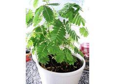 Mimóza   Citlivka stydlivá   Mimosa pudica : návod k pěstování, požadavky na světlo, hnojení, vlhkost, množení a zalévání
