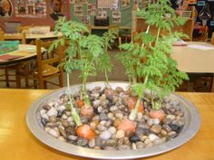 The carrots grow on top and grow lots of roots!