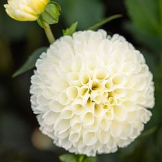 'White Nettie' - 50 Gorgeous Dahlias  - Sunset ... creamy white blooms measure just 2½ inches wide.