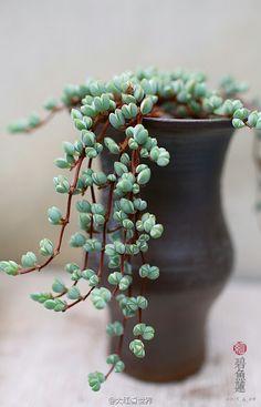 plante retombante s dum plante grasse exterieur jardiland plantes retombantes pinterest. Black Bedroom Furniture Sets. Home Design Ideas