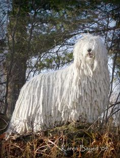 "Komondor Ch. Lajosmegy Djaam  (""Desi-Mae""). Photo via Komondor Club of America."