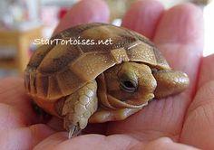 Just hatched Golden Greek tortoise