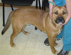 Abe is a small boxer mix, DOB spring 2008 and weighs around 40 pounds.  He was originally adopted from our vet's office when he was a young puppy and was recently returned to them as he and the other dog in his home were accidently let out of their...
