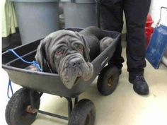 **This angel only has until September 14th.  My heart is breaking.** Stray Neapolitan Mastiff senior wheeled into Texas shelter