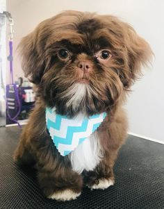 Quality ShihTzu for quality homes for Pets and Therapy dogs. We offer LIFETIME advice for your Glory Ridge ShihTzu. Imperial shihtzu to standard size shihtzu in every color. Shih Tzu Hund, Shih Tzu Puppy, Shih Tzus, Cutest Small Dog Breeds, Best Dog Breeds, Best Dogs, Imperial Shih Tzu, Puppy Drawing, Lion Dog