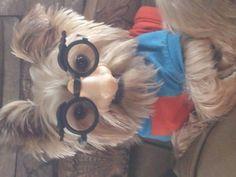 My Peanut!  Shorkie   : )