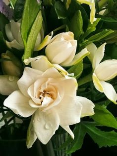 Gardenia jasminoides Beautiful - Hope we can raise gardenias at the ranch and outside of the green house.