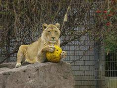 Löwe mit Ball